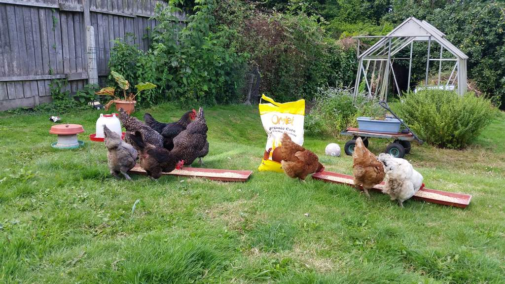 Omlet chicken feed is the best for garden hens