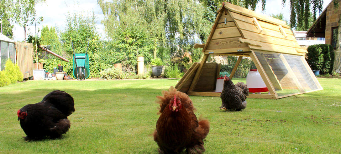 Hens love roaming around outside the Boughton Chicken Coop