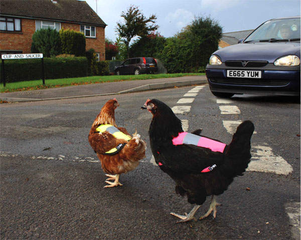 Keep chickens safe on the road!